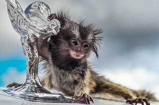 This Tiny Adorable Monkey Owns a Collection of Supercars