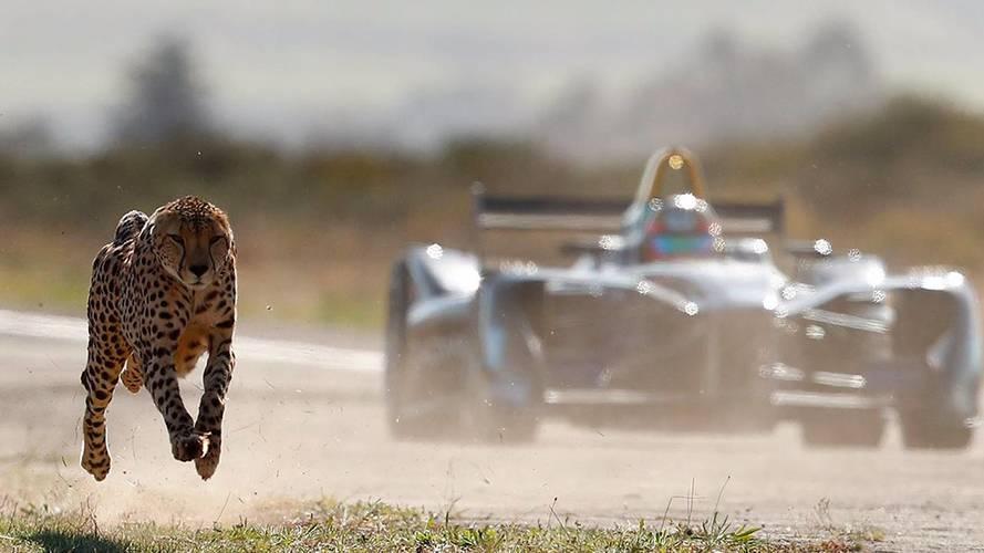 Vídeo: un guepardo contra Vergne y su Fórmula E