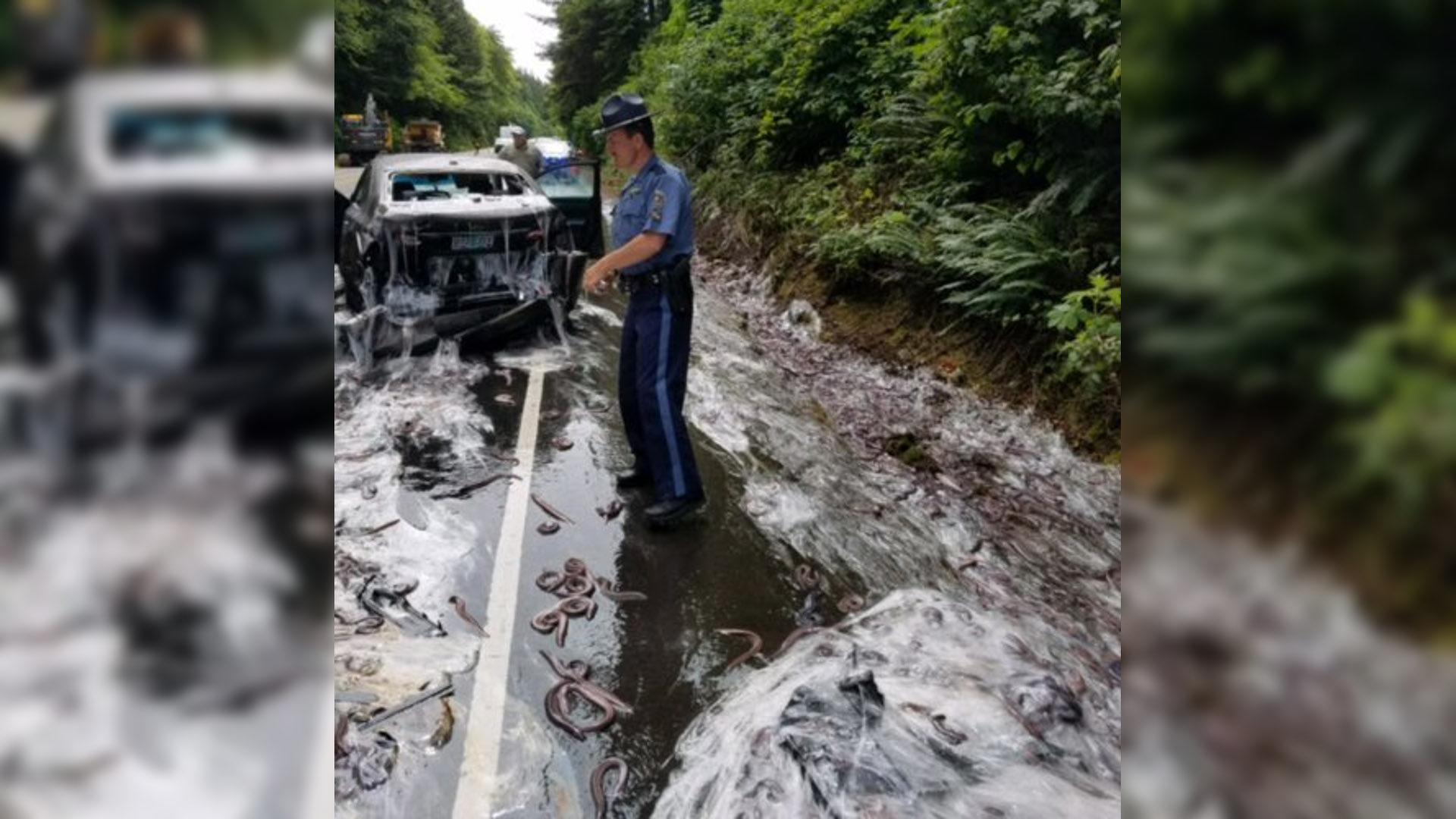 Slime Eels Spilled All Over Oregon Highway After Truck Crashes for Hagfish Accident  288gtk