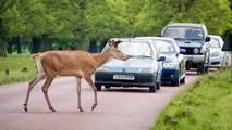 Deer warning as mating season approaches