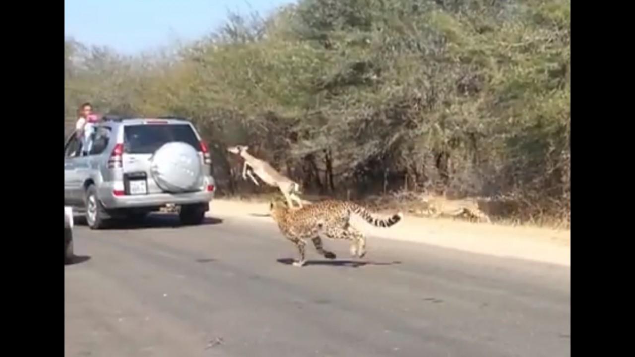 Vídeo: impala vai parar dentro de um carro durante ataque de guepardos